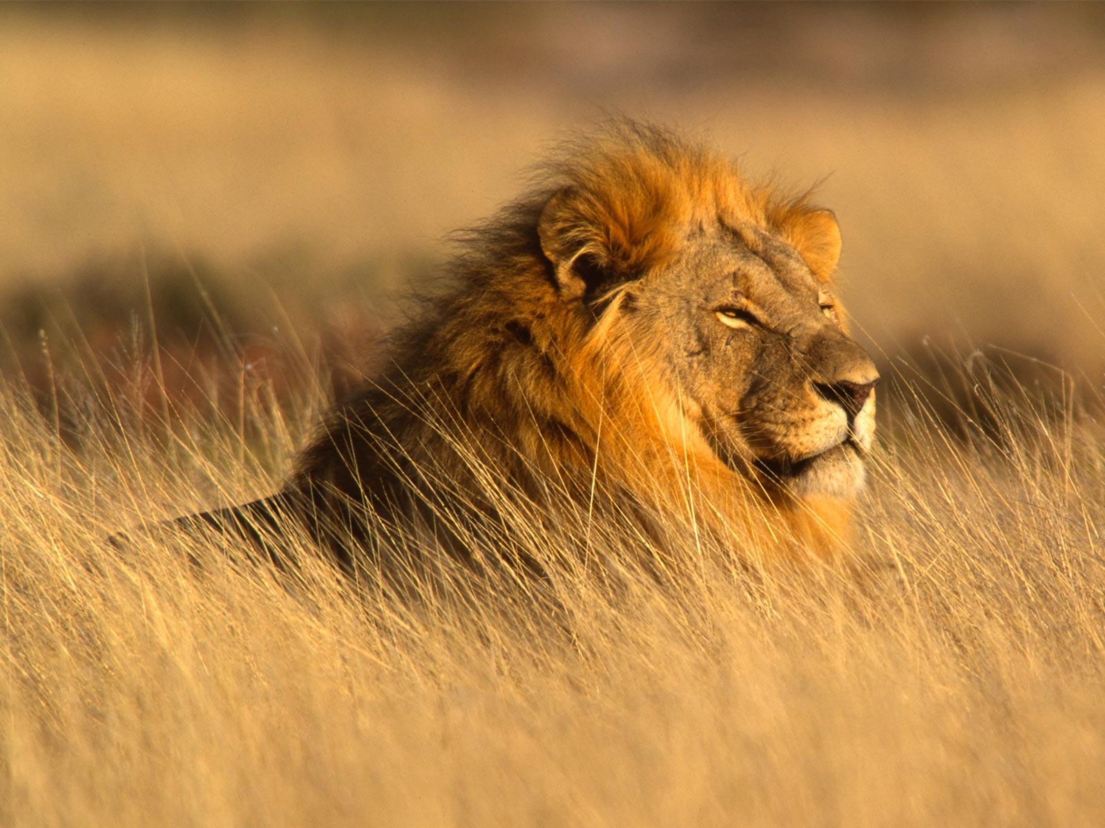 slideshow_photo_lion